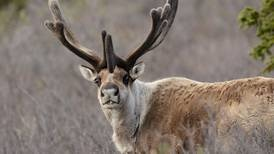 With too many caribou remaining, the Nelchina hunt has been extended