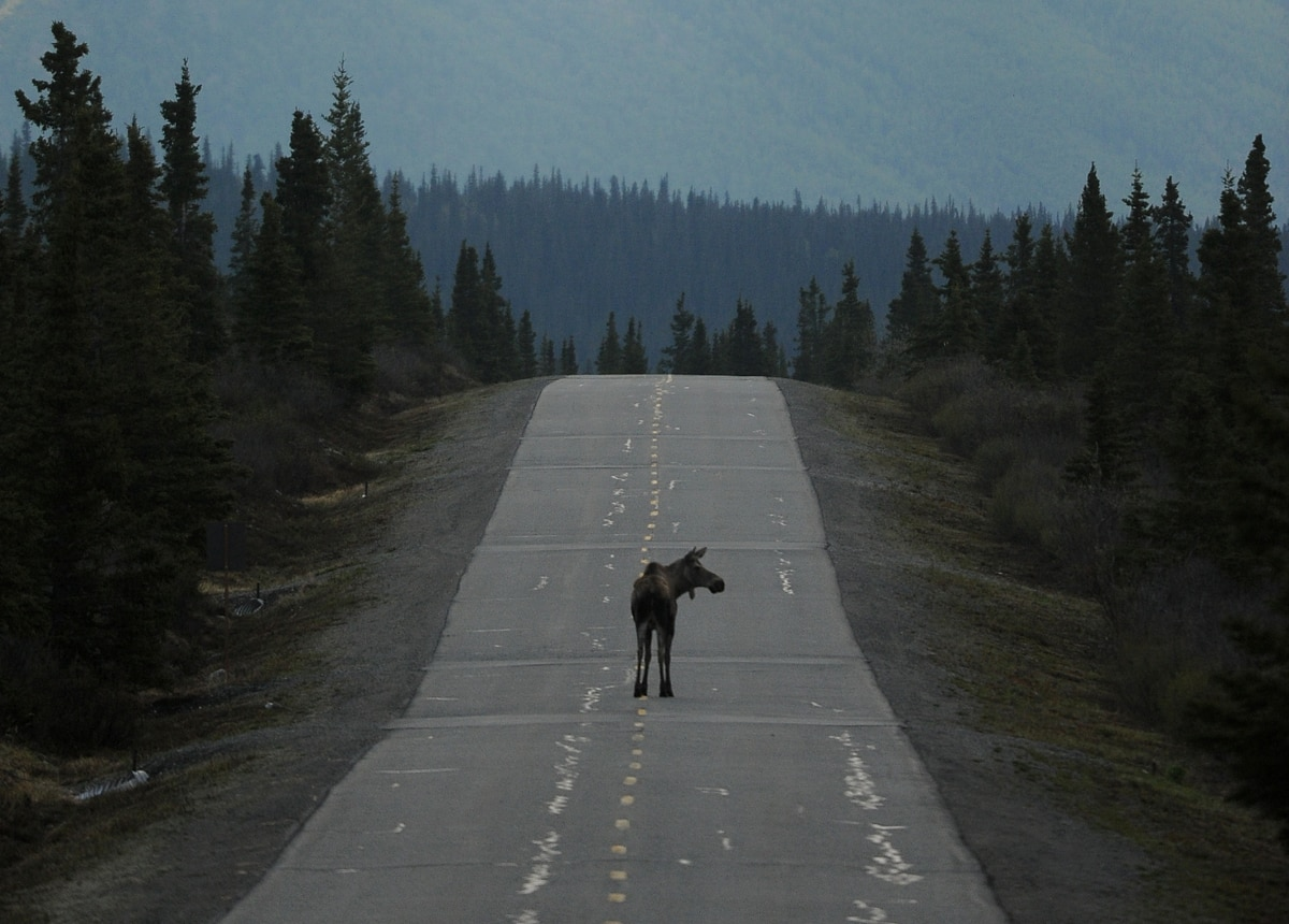 A Moose Walks Down The Park Road In Denali National Park And Preserve On  Thursday,
