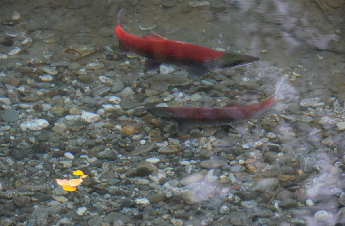 How will a warmer, wetter climate affect spawning salmon in Alaska?  (Bill Roth / Alaska Dispatch News)