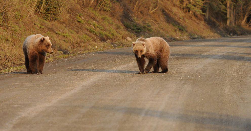 A grizzly sow and an older cub walk down the road in Denali National Park in May. (Bob Hallinen / Alaska Dispatch News)