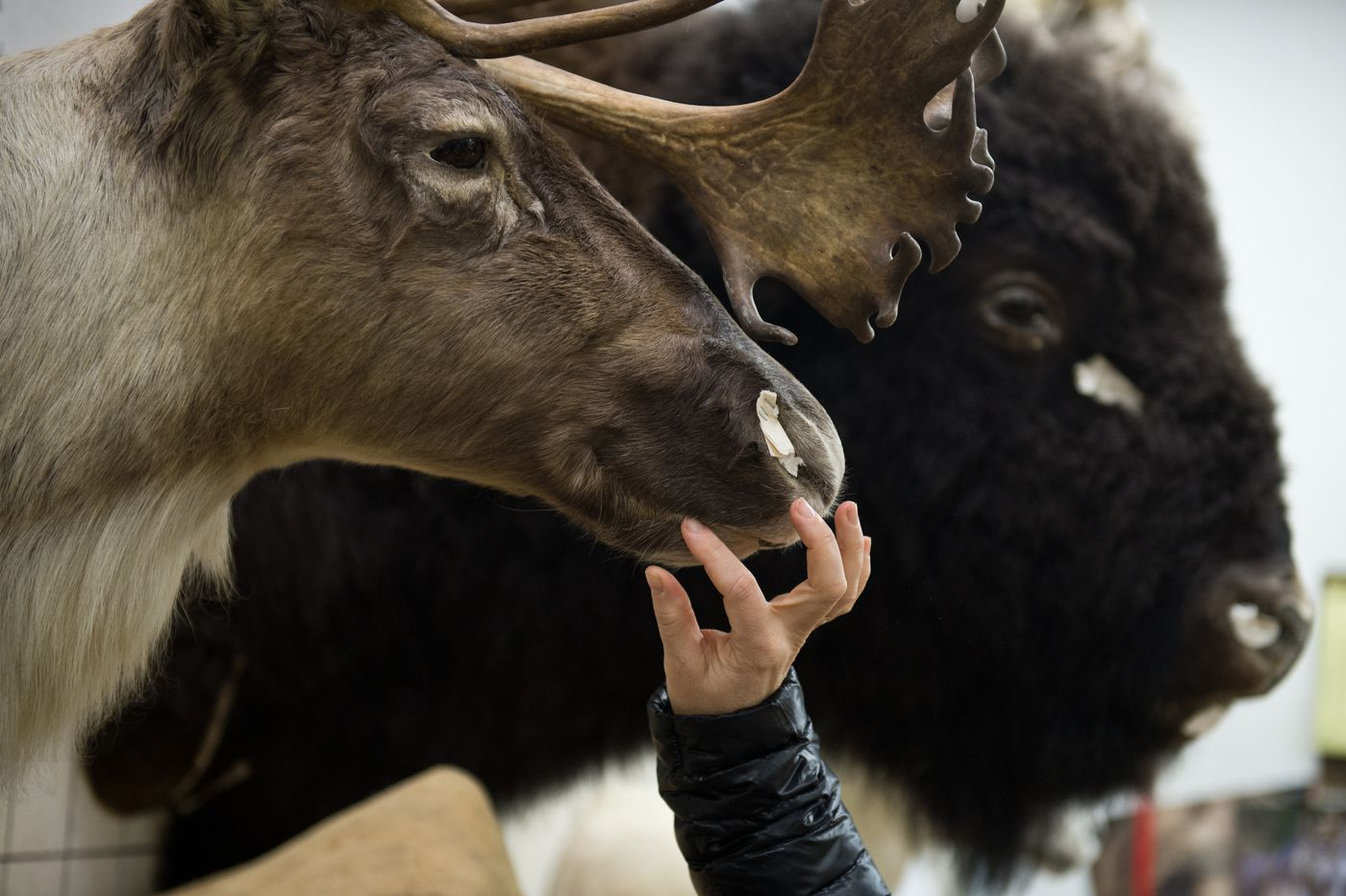 Carri Ann Mueller touches a caribou shoulder mount she's been working on as an intern at Knight's Taxidermy in Anchorage on Nov. 29. Mueller's husband hunted the animal. (Marc Lester / ADN)