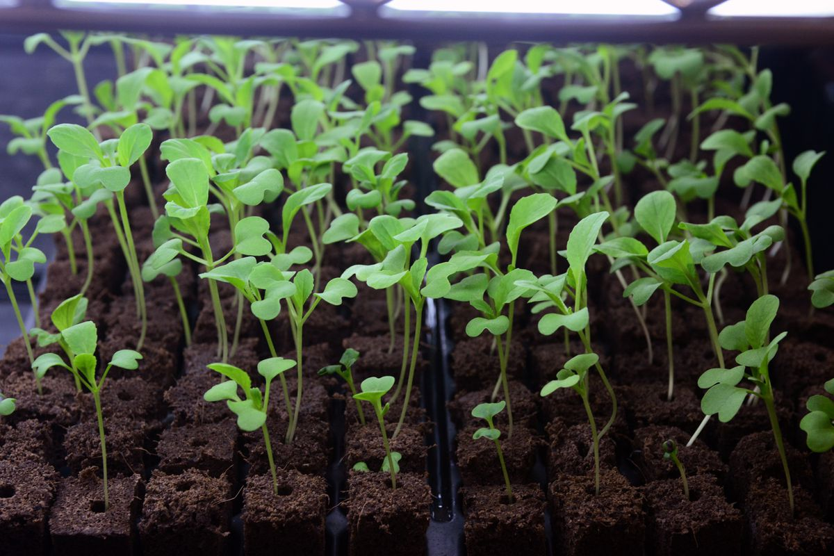 Bok choy seedlings await transplant into vertical hydroponic grow towers at Alaska Seeds of Change on Wednesday, Jan. 11, 2017, in Midtown. (Erik Hill / Alaska Dispatch News)