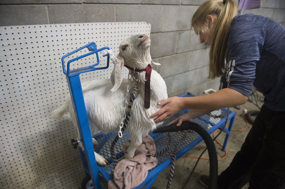 Kewaunee Repnow, of Palmer, dries her goat, Faith, before the 4H competition. (Marc Lester / ADN)