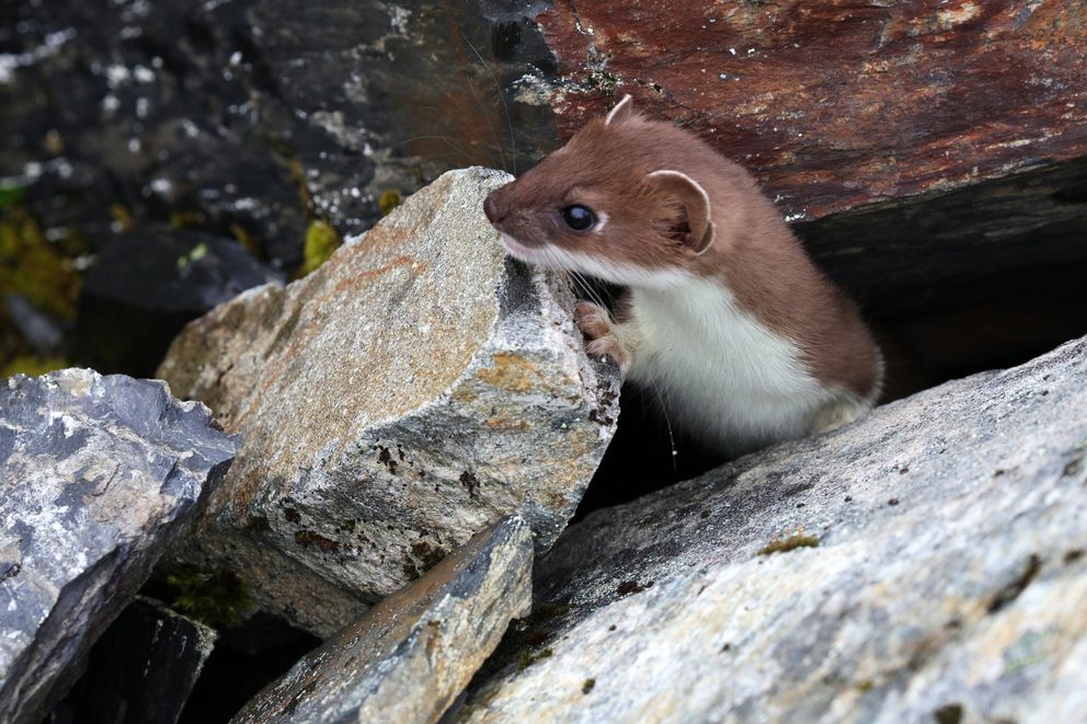 An ermine peeks out from rocks as it investigates passing hunters and dogs. (Photo by Steve Meyer)