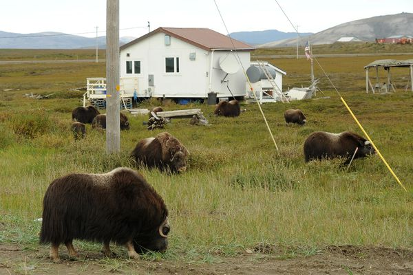 A small herd of musk oxen graze in the front yard of a home just off the Nome-Council Highway in Nome on Aug. 22, 2016. (Bob Hallinen / Alaska Dispatch News)
