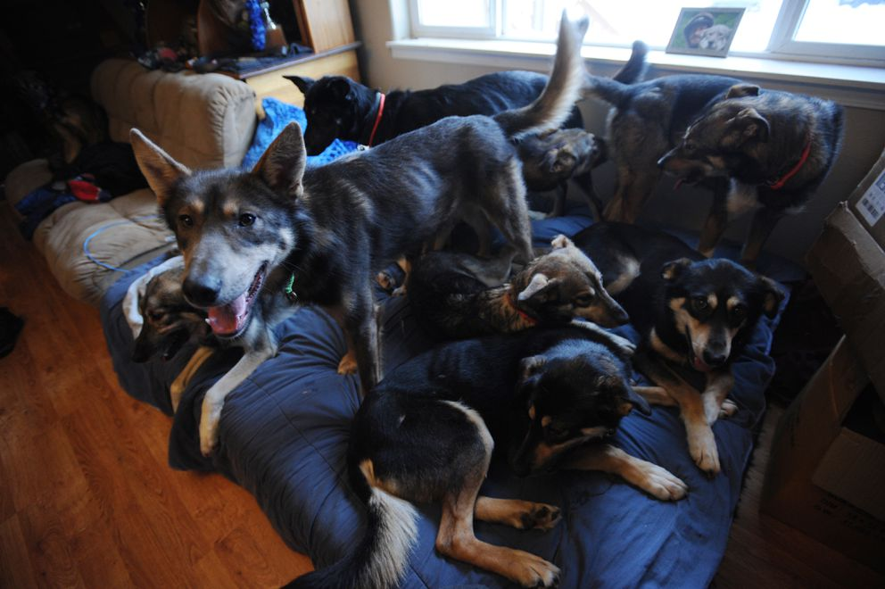 Mushers Nic Petit brought some of his sled dogs into the house for a team meeting on Jan. 22, 2018. (Bill Roth / ADN archive)