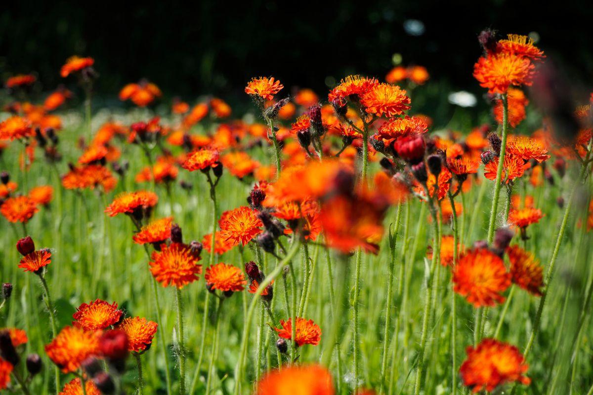 Orange hawkweeds grow in Girdwood on Thursday, June 16, 2016. (Marc Lester / ADN)