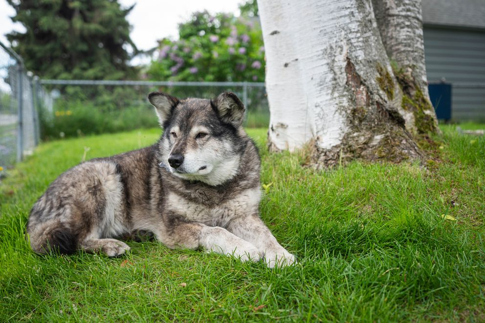 Tonio Nguyen's dog Newtok sits in his yard Wednesday, June 17, 2020 in South Addition. (Loren Holmes / ADN)