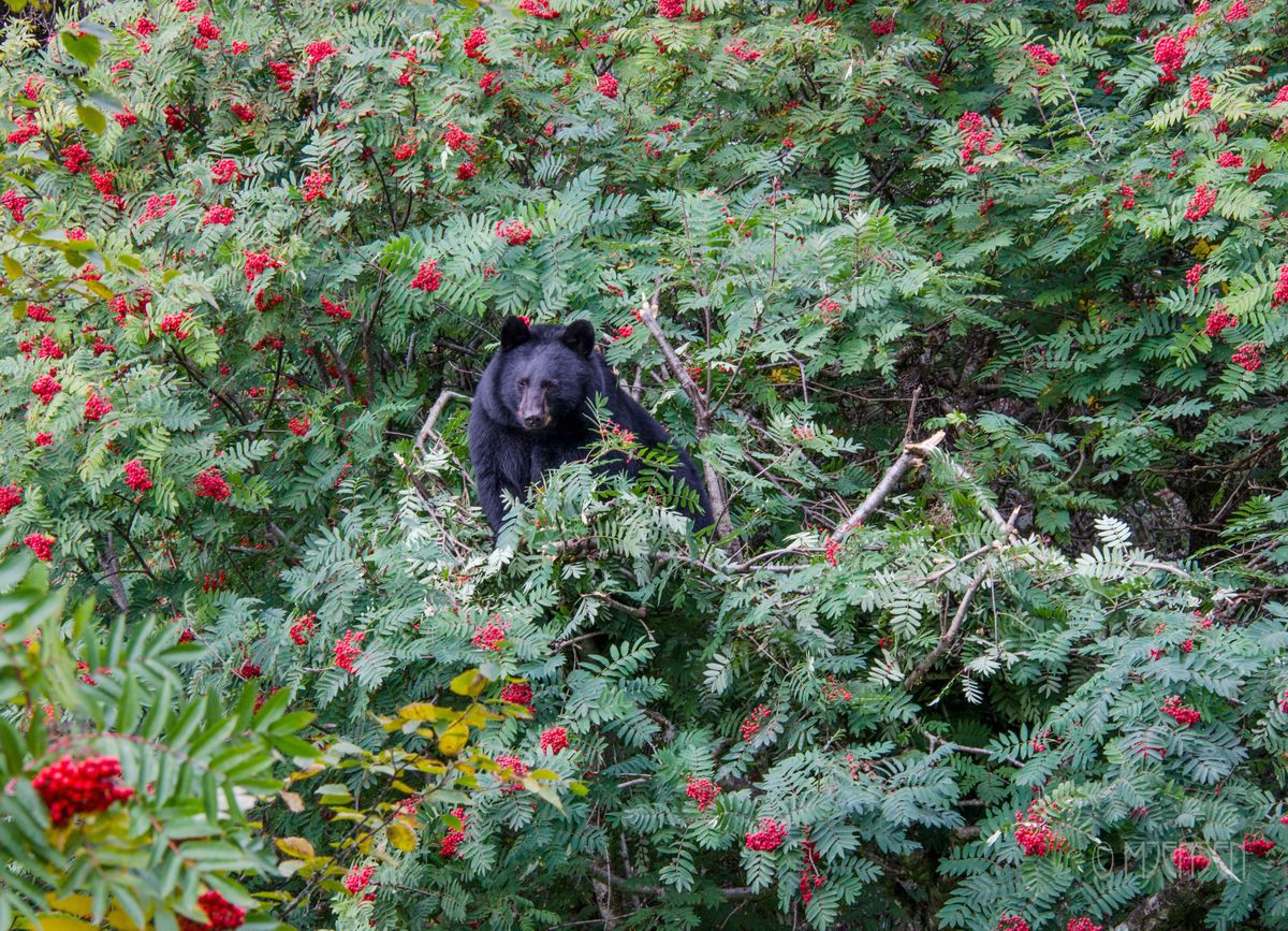 Bear in mountain ash tree, feeding on berries at the Jensen-Olson Arboretum in Juneau, on Sept. 13, 2018. Bears have been visiting the arboretum and climbing trees to eat the berries, amid a low berry year. In an unprecedented move, the facility has been closed because of the bears since Labor Day, Sept. 3. (Photo by Merrill Jensen)