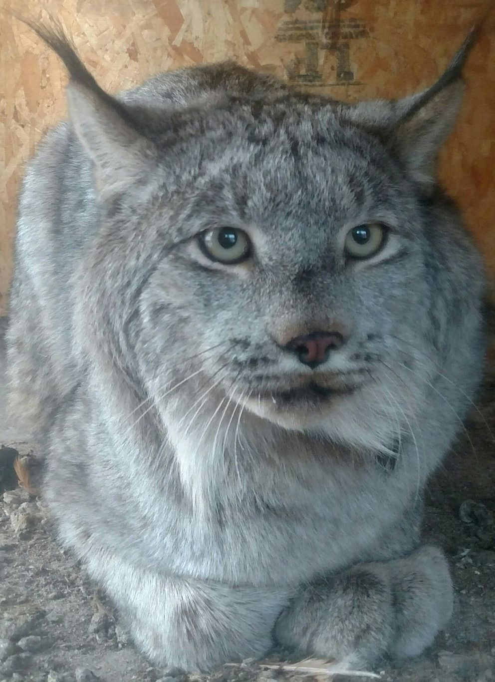 A lynx that a couple in Kenny Lake captured in their chicken house. (Courtesy Linda Lohse.)
