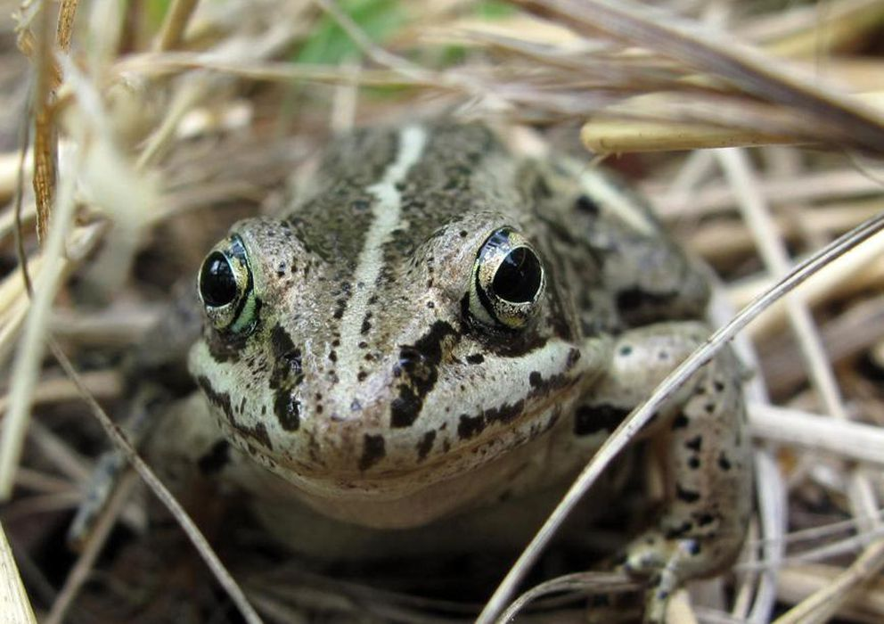 Wood frogs have been studied at UAF for more than 50 years. (Ned Rozell)