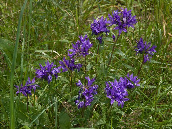 Campanula glomerata, aka purple bellflower, 2008 (Photo by OhWeh via Creative Commons)