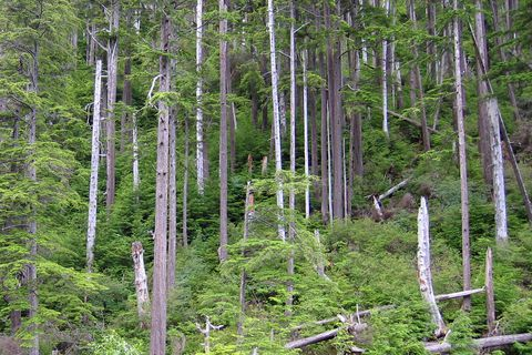 High winds this winter snapped off and blew down a small area in this western hemlock forest on the Tongass National Forest near Sitka, Alaska. (Mary Stensvold / U.S. Forest Service)