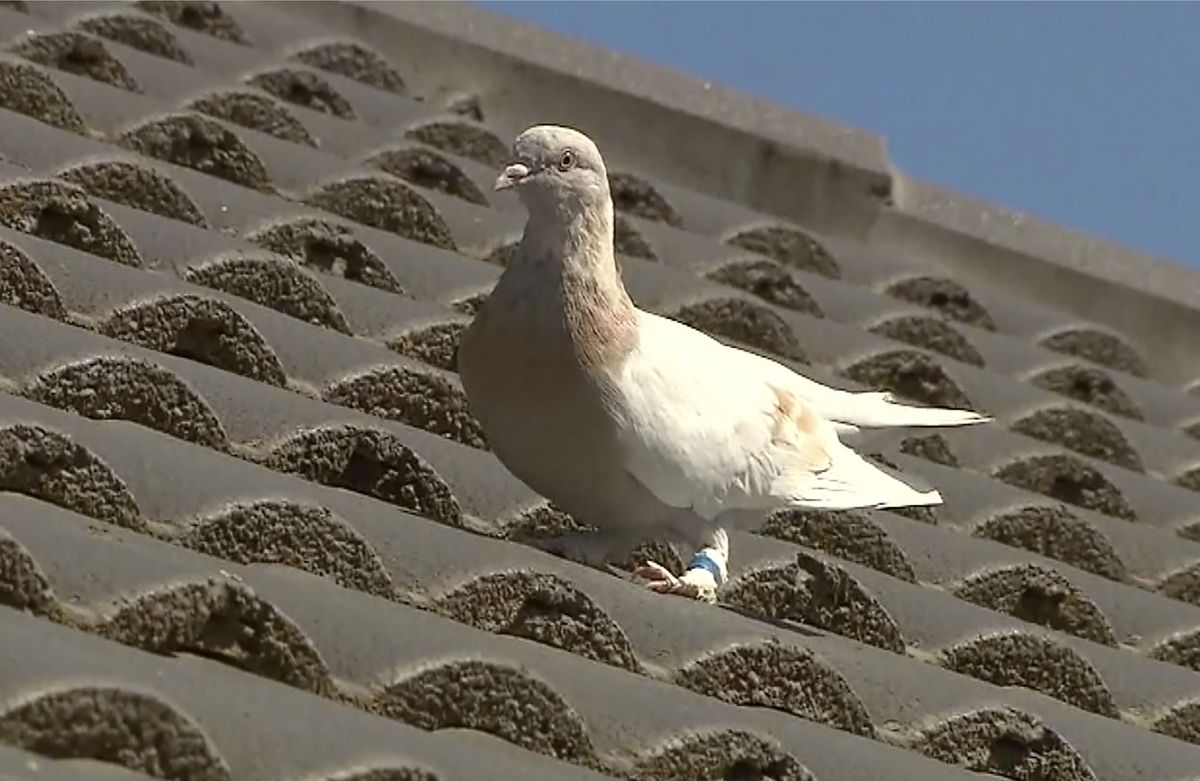 In this image made from video, a racing pigeon sits on a rooftop Wednesday, Jan. 13, 2021, in Melbourne, Australia. The racing pigeon, first spotted in late December 2020, appears to have made an extraordinary 8,000-mile Pacific Ocean crossing from the United States to Australia. (Channel 9 via AP)