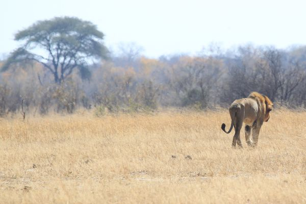 This Aug. 6, 2015, file photo shows a lion named Tommy in the Hwange National Park where Cecil the Lion was killed about 700 kilometres south west of Harare, Zimbabwe. The Obama administration is expected to extend Endangered Species Act protections for two breeds of lions, in response to a large decline in their numbers in Africa over the past two decades. The listings are to be announced Monday, Dec. 21, 2015, and include an order that appears to touch on circumstances surrounding the killing of a well-known lion named Cecil in Zimbabwe earlier this year.