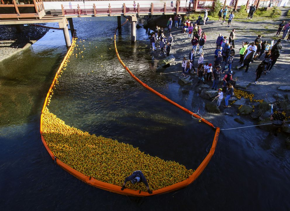 Rubber ducks gather just after the finish line as volunteers use nets to remove them from Ship Creek. (Emily Mesner / ADN)