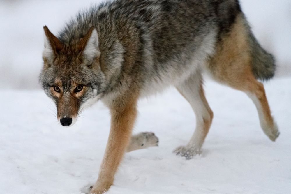 "A coyote drew attention from a few motorists as it trotted along the road near Point Woronzof on Tuesday morning, January 22, 2019. The animal seemed both skittish and curious of humans in the vicinity and cautiously approached a car at one point. Dave Battle, area biologist for the Alaska Department of Fish and Game, said the department has taken a few reports of a coyote in the area of Point Woronzof in recent weeks, a couple of which mentioned the animal was unusually close to humans. That's a situation that concerns him. ""We don't have any solid reports of anybody feeding that coyote, but that is why situations like this get started sometimes,"" Battle said. ""We don't like it when any wild animal approaches humans."" Coyotes average 22-33 pounds and hunt small animals, like snowshoe hares and rodents. Battle advised people to keep their pets close, the small ones in particular. ""We definitely want people to give them their space. And don't feed it,"" Battle said. (Marc Lester / ADN)"