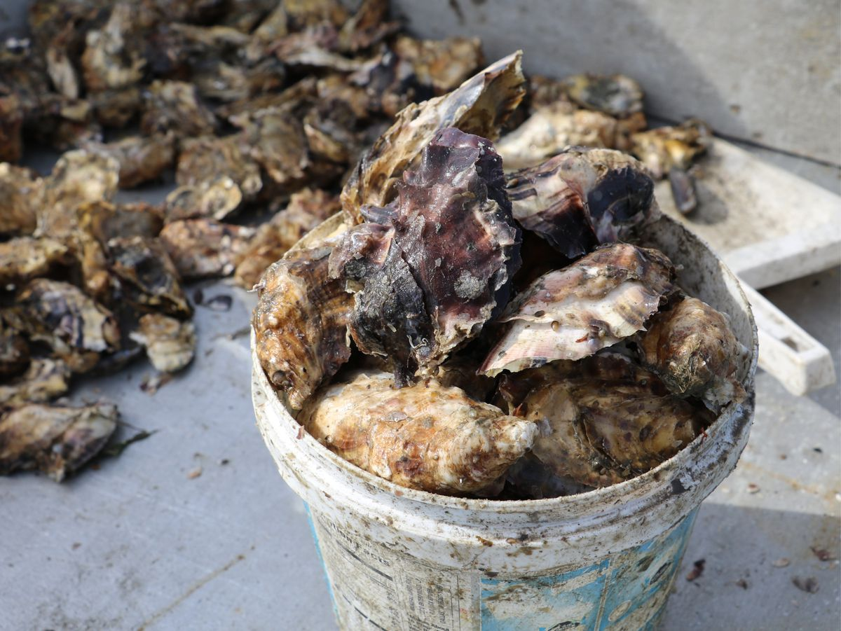 Kachemak Bay oysters (Bailey Berg / Alaska Dispatch News)