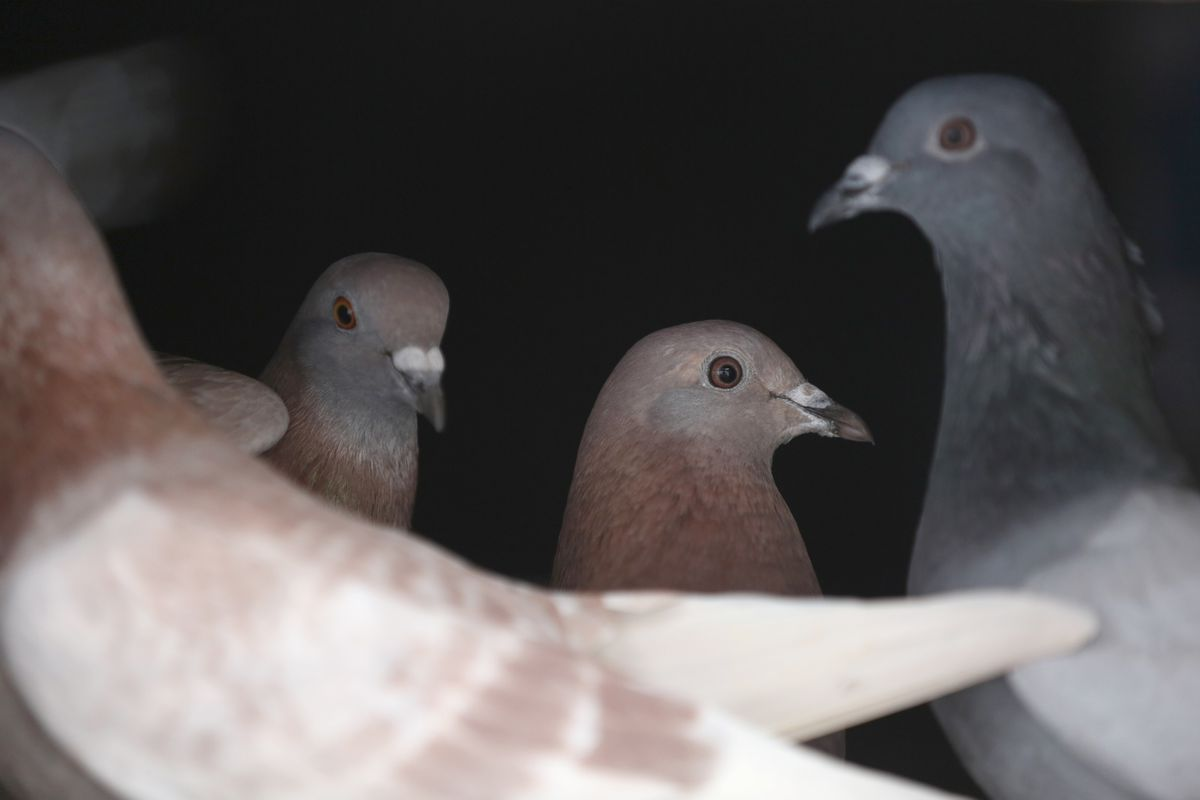 Pigeons in the attic of an abandoned building in Kenai, December 2015. (Photo by Steve Meyer)
