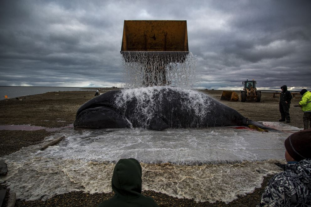 This bowhead whale was caught near Kaktovik in September. In the fall, polar bears devour leftover whale meat and roam the town as climate refugees, on land because the sea ice they rely on for hunting seals is receding. (Josh Haner/The New York Times)