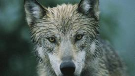 Wolf sighting sparks discussion on their role in our world, and our role in theirs