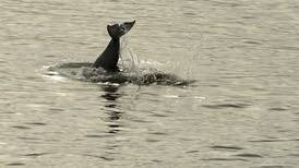 Teeth, noise, photos: Looking for clues about the ailing Cook Inlet beluga population