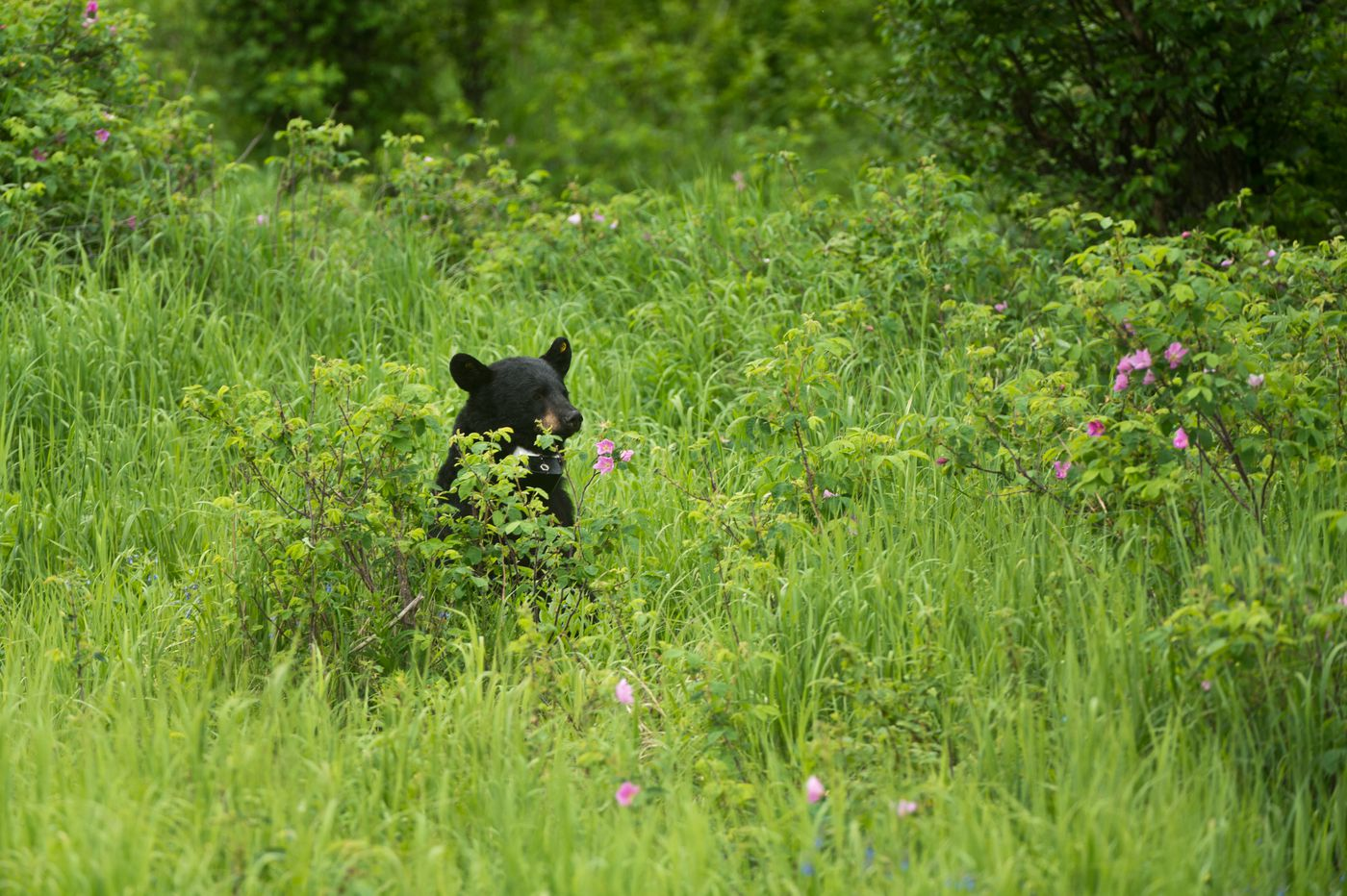A black bear passes through the Creek Course at Moose Run Golf Course this week. (Marc Lester / Alaska Dispatch News)