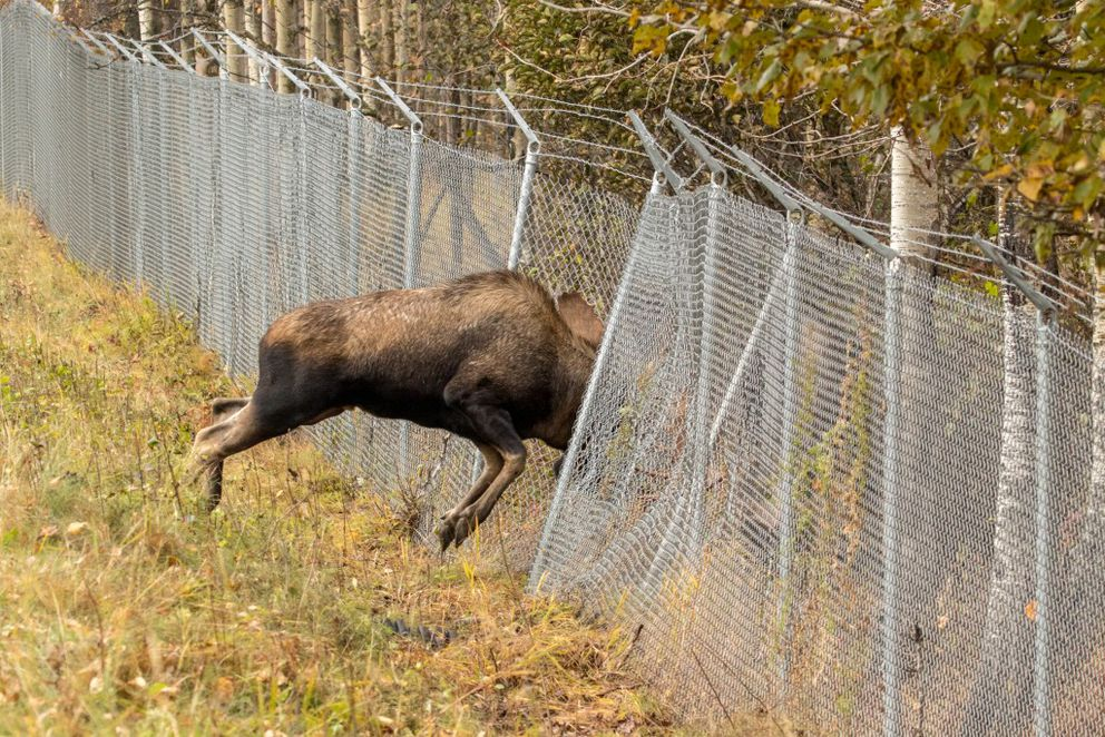 The bulls continue to battle each other from opposite sides of a chain link fence on Sunday, Oct. 2, 2016.  (Photo by Doug Lindstrand)