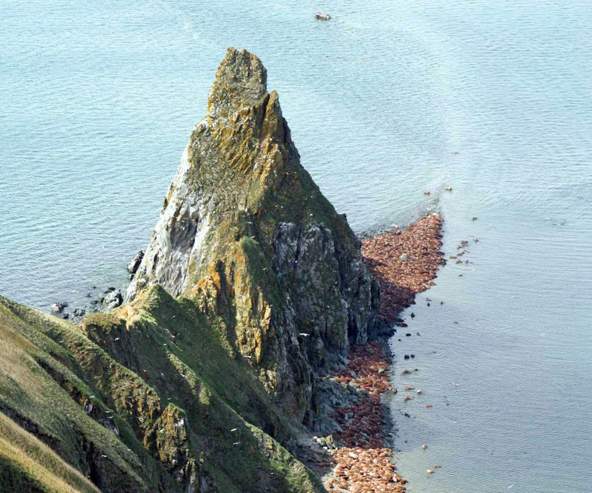 Hundreds of walruses line beaches July 25, 2005, in the Walrus Islands State Game Sanctuary, Alaska, on Round Island in the Bering Sea. (Alaska Department of Fish and Game)