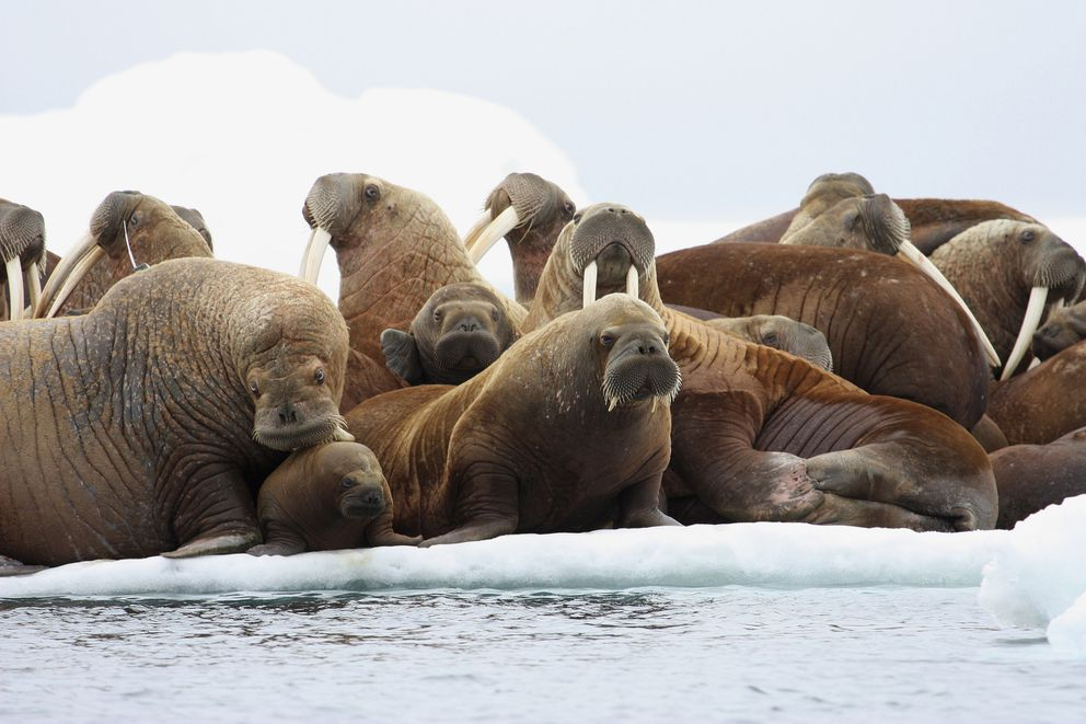 FILE - In this July 17, 2012, file photo, adult female walruses rest on an ice flow with young walruses in the Eastern Chukchi Sea, Alaska. The U.S. Fish and Wildlife Service is monitoring Pacific walruses resting on Alaska's northwest coast. Walruses over the last decade have come to shore on the Alaska and Russia side of the Chukchi Sea as sea ice diminishes because of global warming. (S.A. Sonsthagen/U.S. Geological Survey via AP, File)