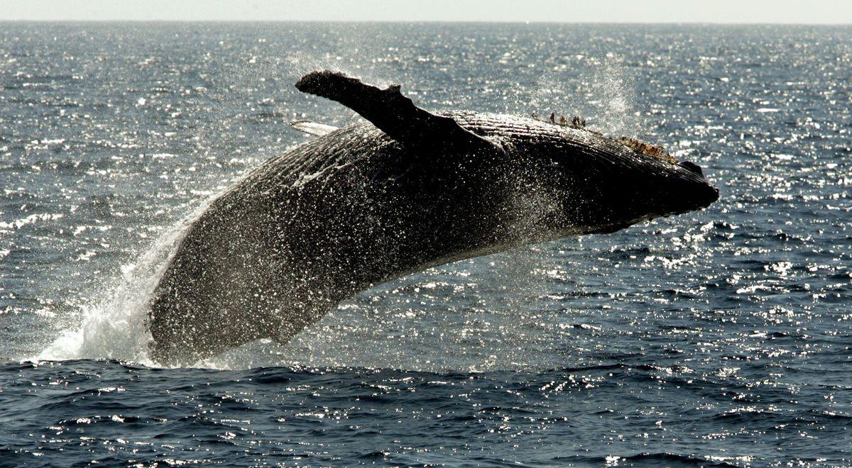 A humpback whale breaches off Lahaina on the island of Maui in Hawaii. (AP Photo/Reed Saxon, file)