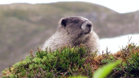 Happy Marmot Day, Alaska!