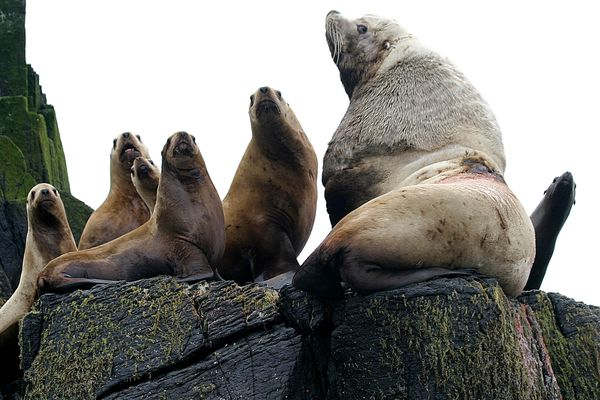 A bull Steller sea lion, right, and juveniles watch from a haulout at Sea Lion Rocks, one of the Shumagin Islands south of the Alaska Peninsula, near Sand Point, Alaska, June, 17, 2004. The wound on the back of the bull is from a breeding season encounter with another male who won the battle. Marine biologist are collecting scat, along with counts from boat and airplane, as part of a three-year study to learn more about Shumagin Island sea lions. (AP Photo/Aleutian East Borough, Cathy Hegwer)