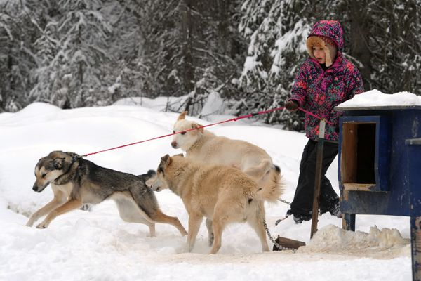 Ava Smyth, 10, selects dogs from the lot for a five-mile run on Thursday morning, March 30, 2017, at her home near Houston. (Erik Hill / Alaska Dispatch News)