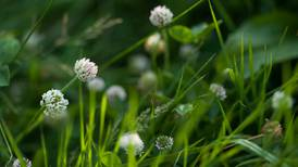 With enough effort, you might be able to rid your lawn of clover. But why would you want to?