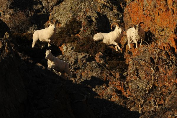 Dall sheep rams pursue a Dall sheep ewe on the cliffs above the Seward Highway across from Turnagain Arm south of Anchorage, Alaska on Tuesday, Nov. 14, 2017. (Bob Hallinen / Alaska Dispatch News)