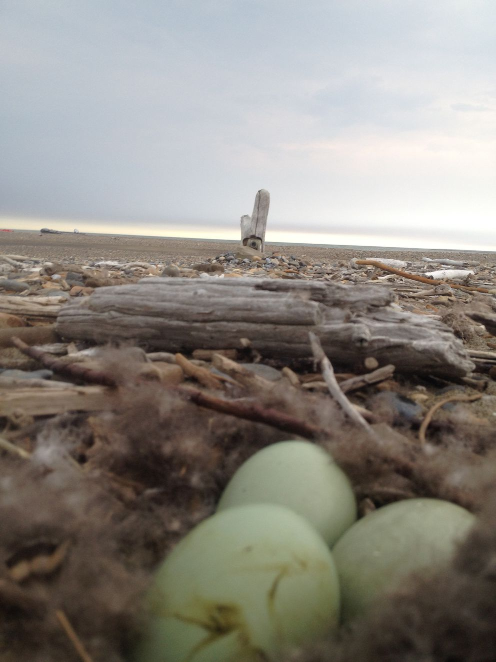 A FWS camera is on an Arctic National Wildlife Refuge barrier island overlooking common eider eggs (Wilhelm Wiese / FWS)