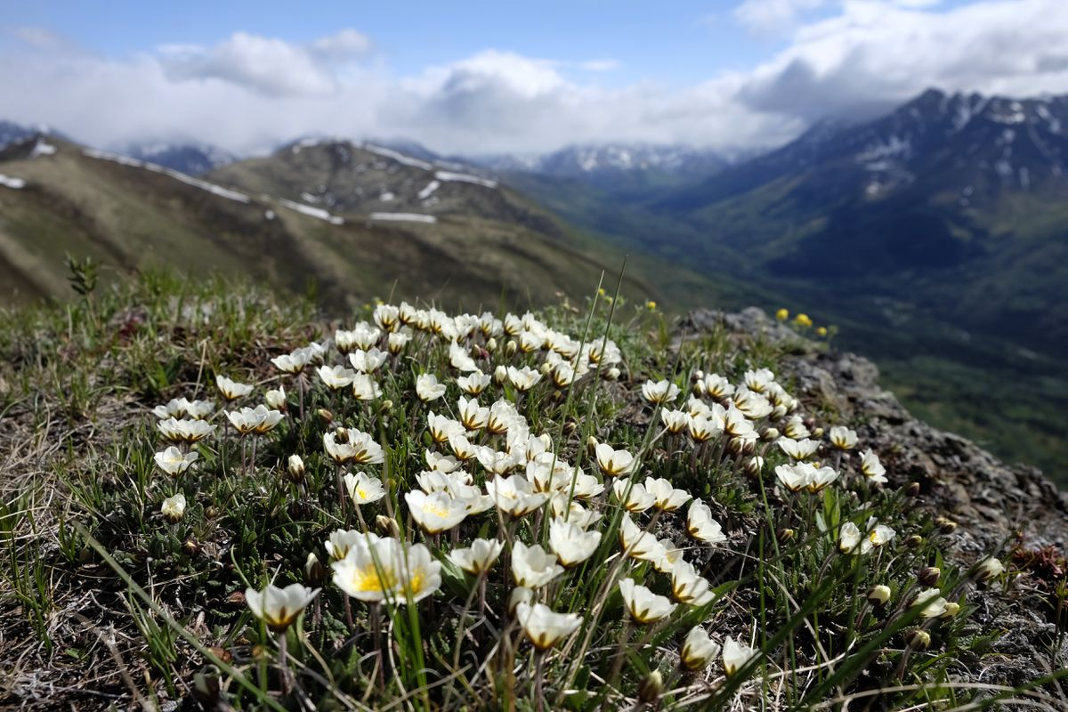 Mountain Avens grow in clusterson the ridges near Rendezvous Peak. Hikers can access the peak from Arctic Valley Ski Area. (Marc Lester / ADN)