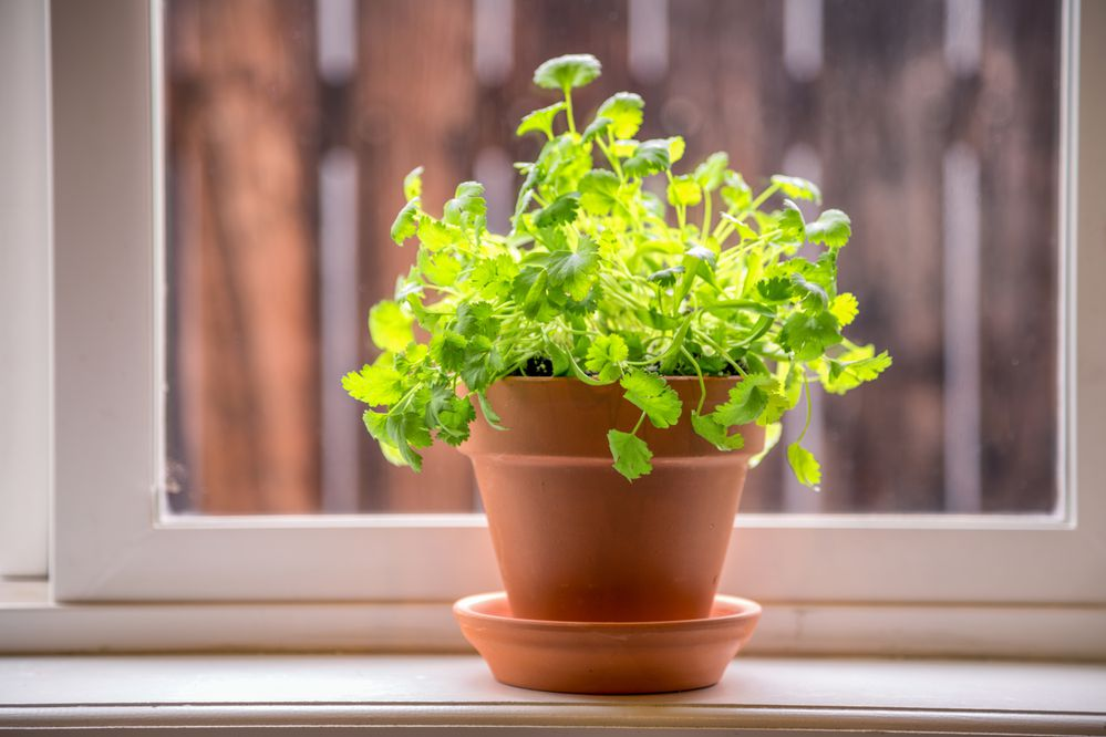 Variety of fresh herbs in terra cotta pots in a window sill. 2 shot pano