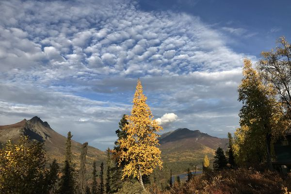 A birch tree is in full autumn mode in a valley near the Matanuska Glacier, Saturday, Sept. 15, 2018. (Anne Raup / ADN)