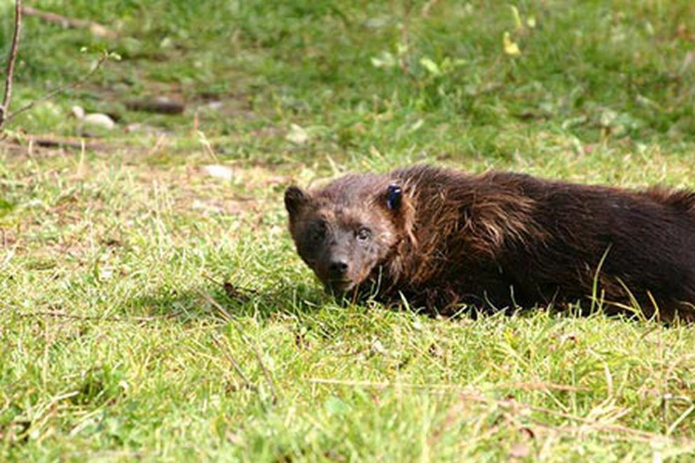 Wolverine (Alaska Department of Fish and Game)