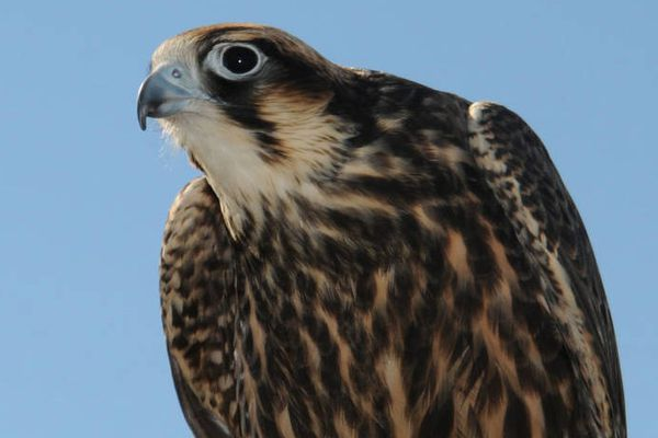A peregrine falcon. (Frank Doyle/U.S. Fish and Wildlife Service)