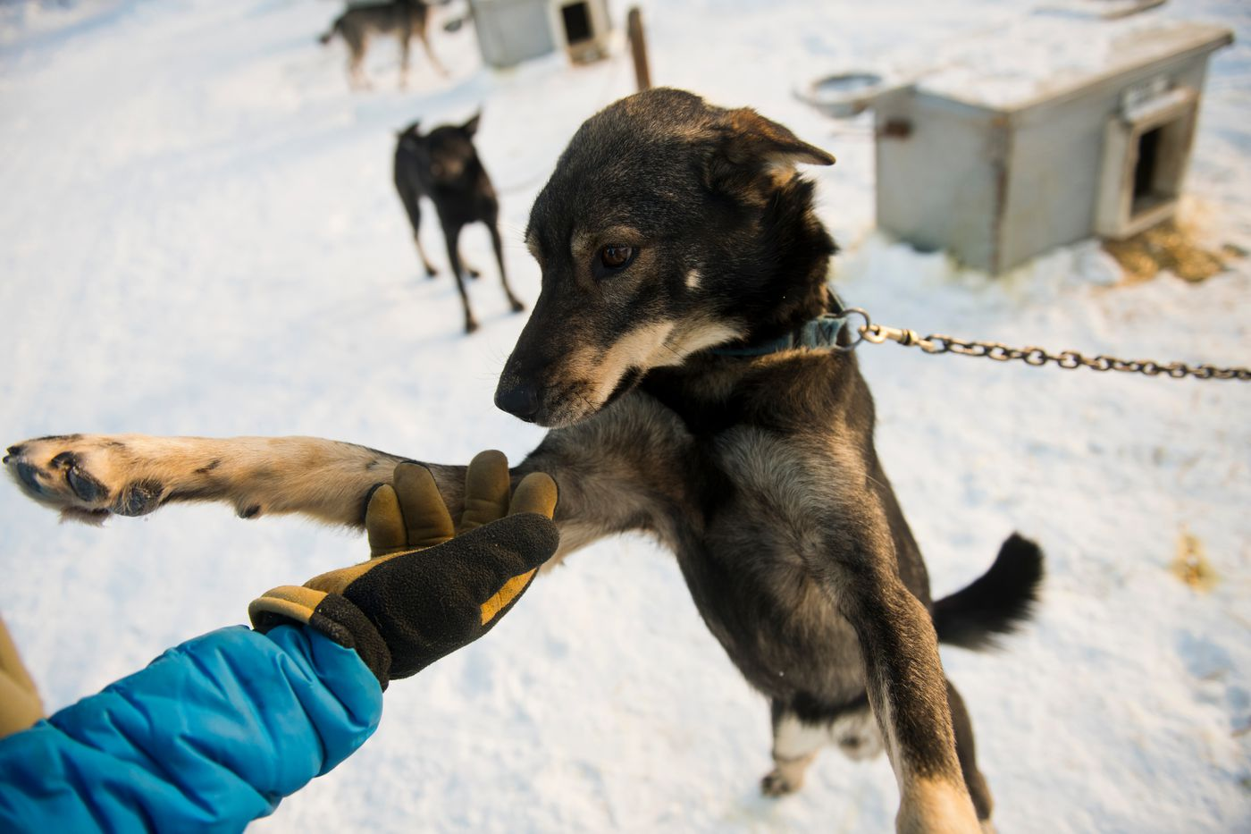 Musher Tim Pappas greets a sled dog named Tim at Happy Trails Kennels in Big Lake on February 25, 2020. (Marc Lester / ADN)