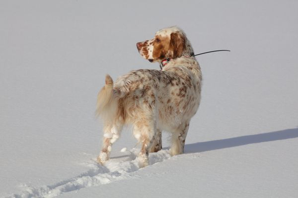 Snow balls up on Hugo's fur during a hunting trip in Feb. 2018. (Christine Cunningham)