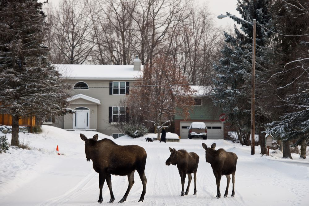 Two calves follow a cow moose on West 14th Avenue on November 16, 2017. (Marc Lester / Alaska Dispatch News)