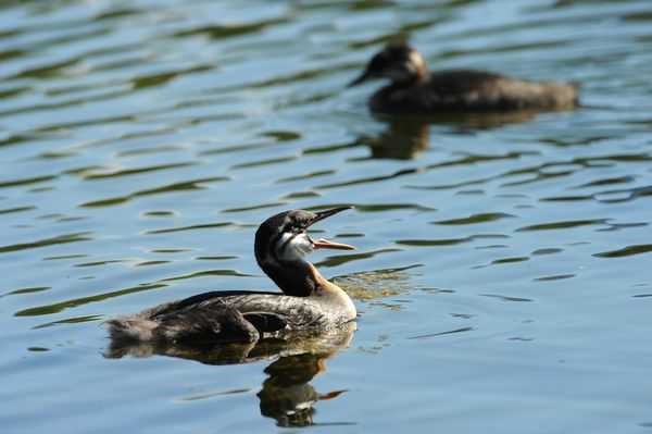 At the end of August the grebe chicks have grown as big as the adults. (Bob Hallinen / ADN)
