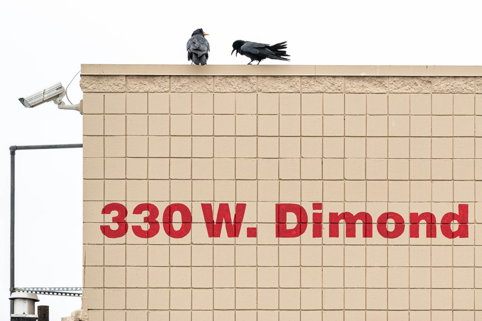 A raven vocalizes at another raven that carries food in its beak on the roof of Costco on Wednesday. People have been sharing stories on social media of ravens stealing food from their carts while they load groceries into their vehicles. (Loren Holmes / ADN)