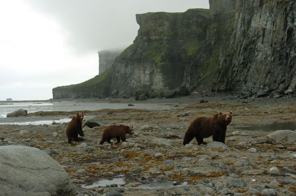 A brown bear with two cubs walks up the beach along the Cook Inlet coast in the McNeil River State Game Sanctuary on the Alaska Peninsula. The bears fed on sea life they scraped from the tidal rocks with their claws. (Bob Hallinen / ADN archive 2006)