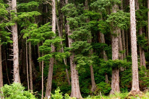 The U.S. Fish and Wildlife Service will consider making the yellow cedar the first Alaska tree to be granted Endangered Species Act protections. (James Mackovjak)