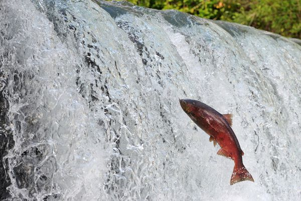 OPINION: King salmon returns in Southeast give lie to limited numbers imposed on Alaska trollers.